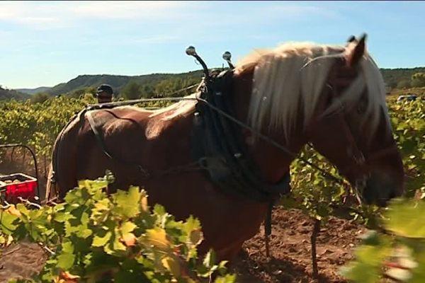 Vendanger avec l'aide d'un cheval, ce n'est pas très courant.
