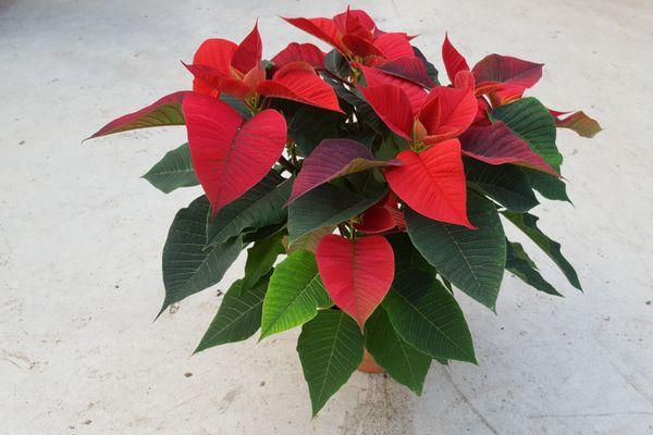 L'étoile de Noël est habituellement un produit phare de la saison des fêtes de fin d'année.