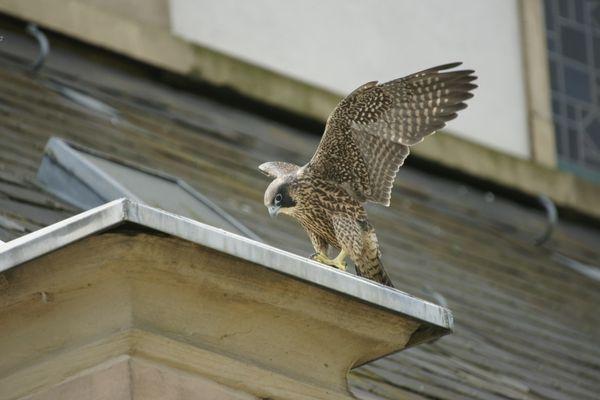 Un des faucons déjà bien implantés sur une église d'Illkirch-Graffenstaden