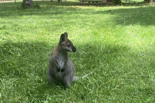 Bonnie, la femelle wallaby de l'Evad'Parc de Montenois n'a pu que constater la fuite de son compagnon Clyde.
