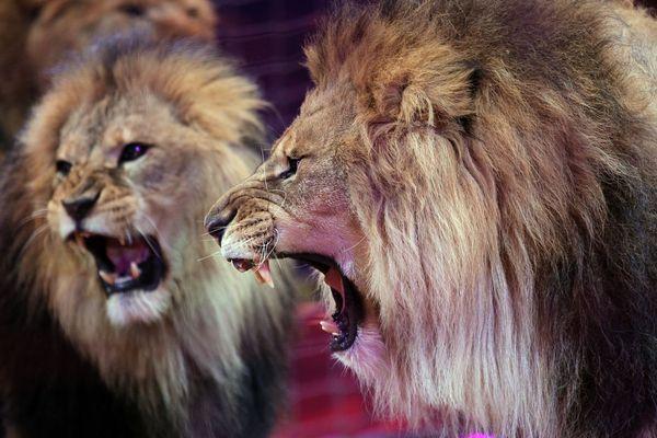 Fauves, éléphants, dromadaires, singes… L'interdiction concerne les animaux sauvages (illustration).