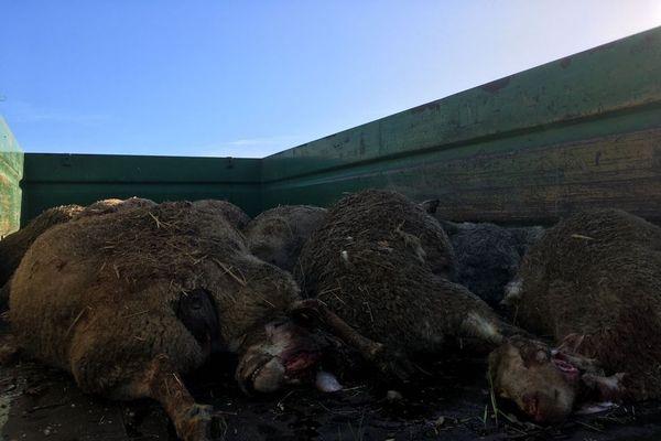 Une attaque de brebis a été constatée dans un élevage de Saint-Saturnin-des-Bois le 17 novembre, 10 brebis ont été égorgées et trois ont disparu.
