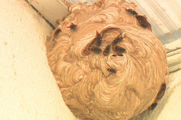 Un nid de frelons ne doit pas être détruit sans l'intervention d'un professionnel.