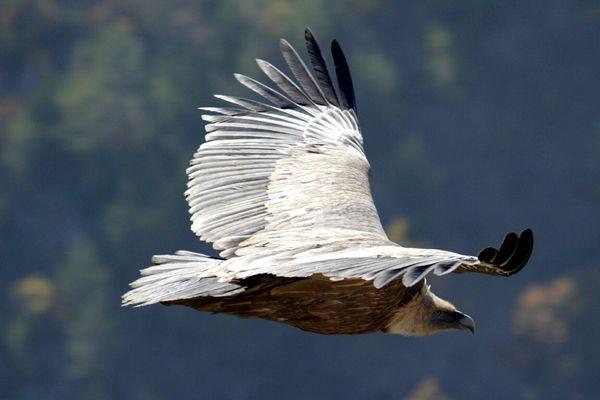 Le vautour se nourrit de bêtes mortes, participe à l'élimination des carcasses et limite la propagation d'épidémies.