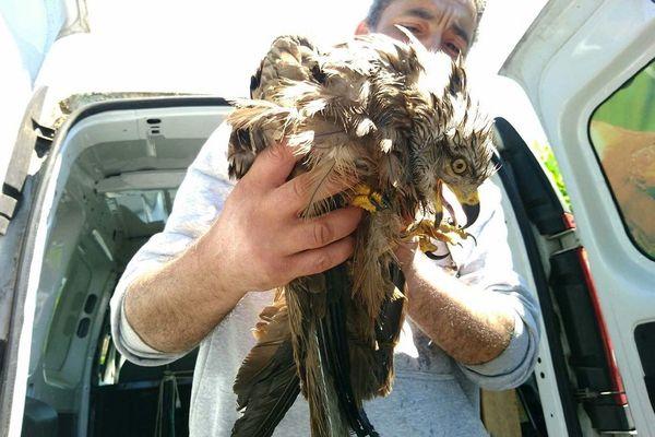 Le rapace blessé a été confié au Rocher des aigles, à Rocamadour.