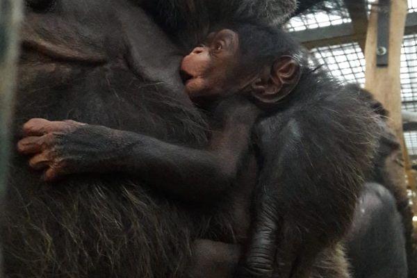 Le nouveau-né est une petite femelle. Elle restera accrochée à sa mère pendant plusieurs mois.