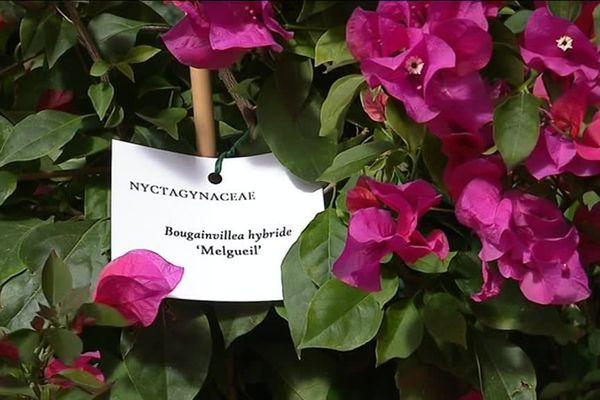 Le Melgueil, de l'ancien nom de Mauguio est l'une des 150 variétés de bougainvilliers.