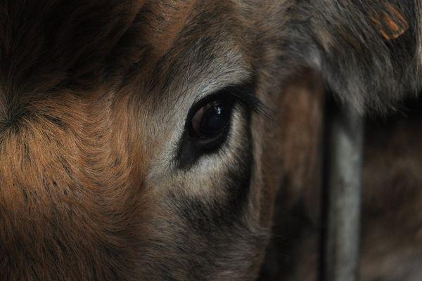 Les éleveurs bovins exigent des solutions à la crise que traverse leur profession