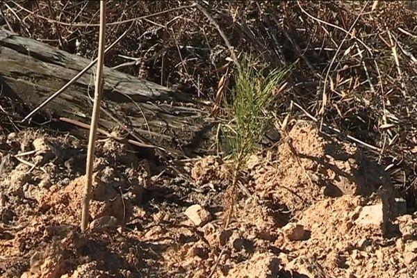 Un plant du pin Salzmann replanté sur la commune de Banne
