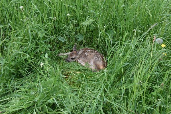 Un faon, né il y a quelques jours, tapi dans les hautes herbes.