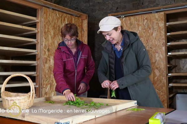 Pauline Robert et Sophie Jovillard préparent les plantes aromatiques pour l'étape du séchage.