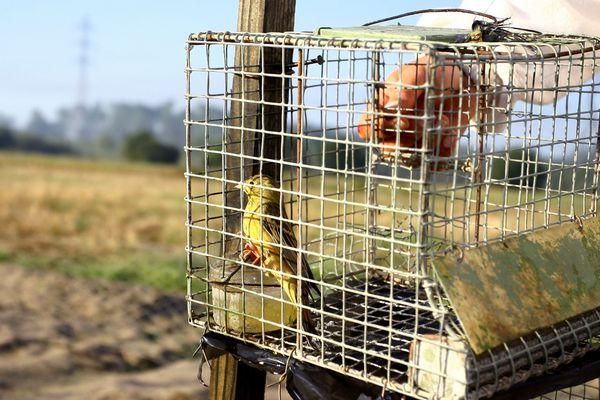 Photo d'un ortolan prisonnier d'un piège de braconneurs prise le 30 août 2009 à proximité de Tartas lors d'une action menée aujourd'hui par le président de la Ligue de protection des oiseaux (LPO), Allain Bougrain-Dubourg,