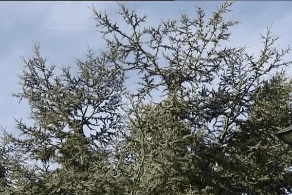 Le cèdre menacé du bourg de Pordic