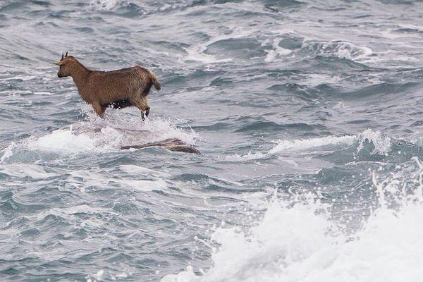 La chèvre avait de l'eau jusqu'aux pattes sur ce rocher de la pointe de Pern à Ouessant