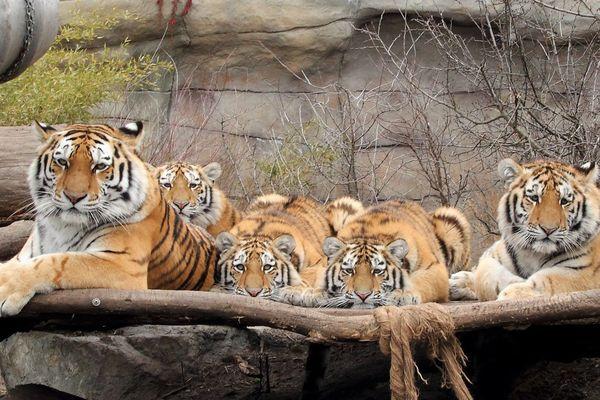 Les quatre jeunes tigres avec leur mère au zoo de Hlubokà, en République Tchèque.
