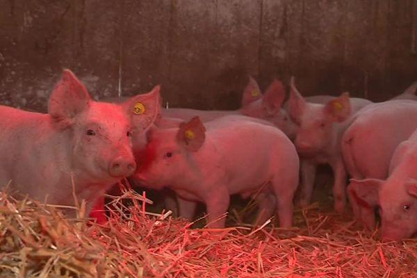 Jérémie Pelette élève près de 500 porcs en quasi liberté dans les bois à Vibrac (16).