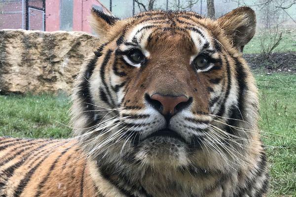 Le tigre Venghaï est arrivé au parc de l'Auxois en 2017