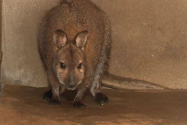 Le wallaby aura passé une nuit dans le refuge de la SPA de Chagny.