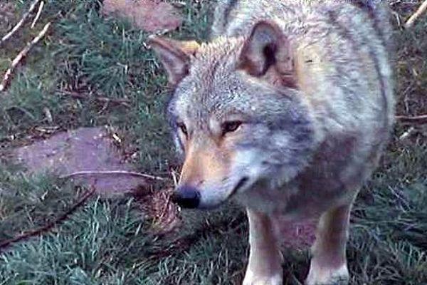 Parc du Gévaudan (Lozère) - un loup de Mongolie - mars 2016.
