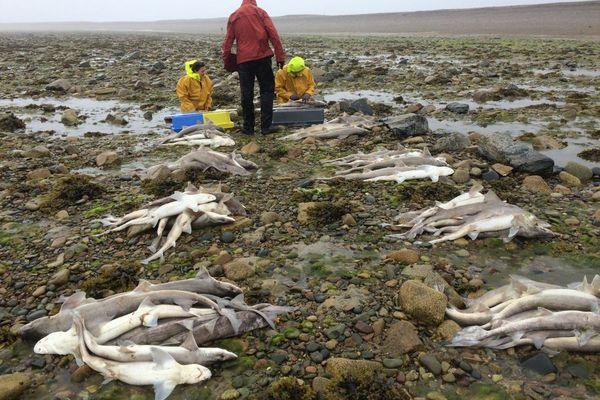 Le ramassage de ces centaines de requins morts sur le Sillon de Talbert a commencé ce jeudi midi