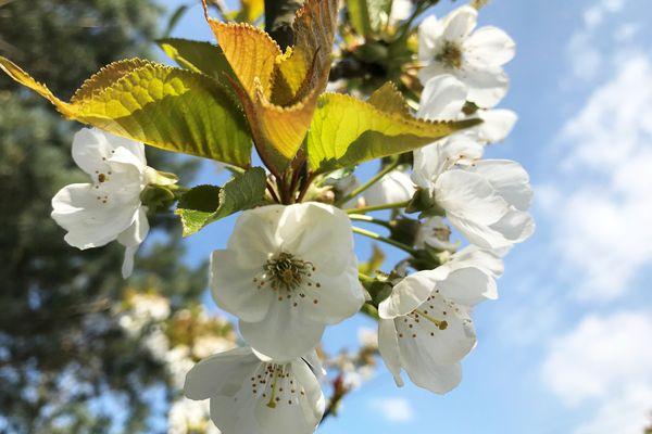 Les cerisiers en fleurs.