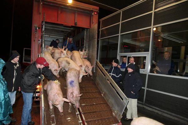 Les producteurs de porcs attendent impatiemment que l'abattoir de Kermené retrouve sa pleine activité pour désengorger leurs élevages