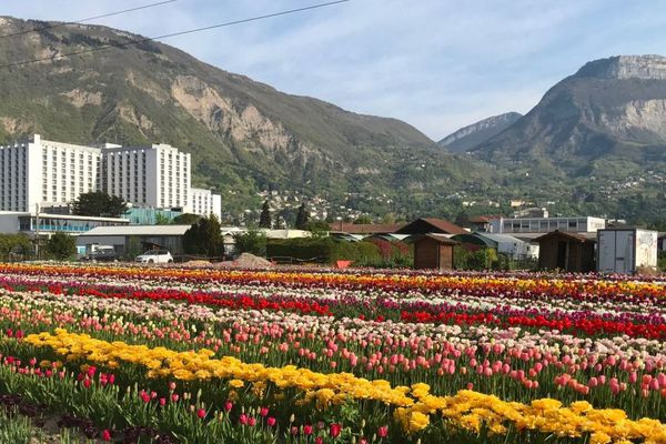 Cette année, interdiction d'aller cueillir les tulipes en raison du coronavirus. L'opération 100 000 tulipes pour les enfants atteints de la maladie du cancer à Grenoble sera virtuelle