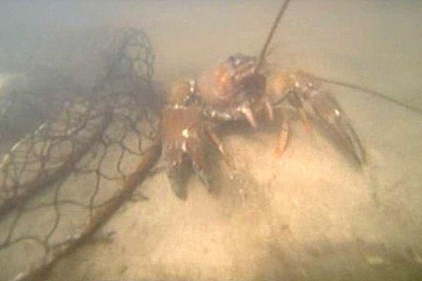 Les crustacés pullulent dans certains cours d'eau.