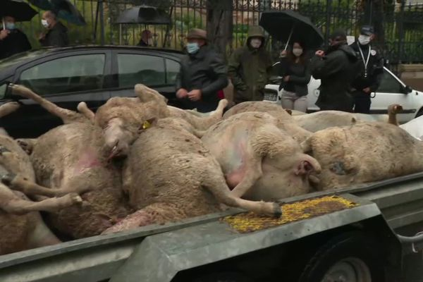 Suite aux nombreuses attaques de loup en Saône-et-Loire, les éleveurs demandent plus de mesures. Ils ont déposé les carcasses des bêtes tuées devant la préfecture de Mâcon.