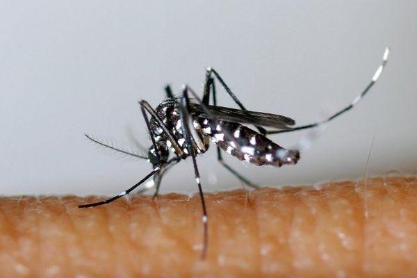 Aedes Albopictus est présent de le sud de la Vendée, le moustique tigre transmet les virus du chikungunya, de la dengue et du virus zika