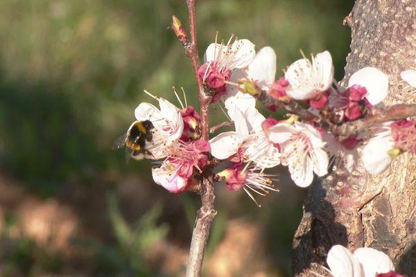 Floraison précoce des abricotiers (mars 2021).  alors que les abeilles pollinisent encore dans les abricotiers, certains fruits pointent déjà....