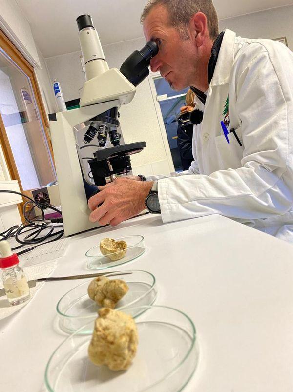C'est en laboratoire sous microscope que la culture de la truffe blanche commence.