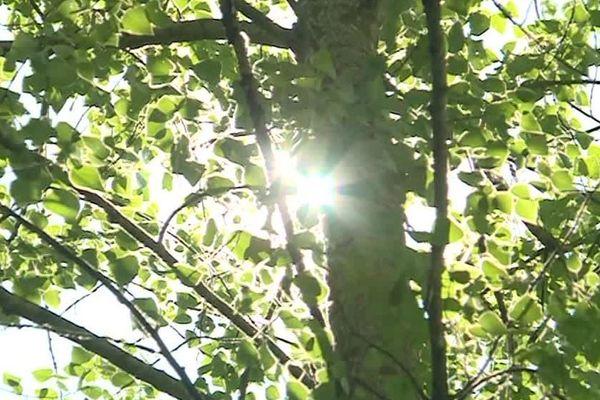 Le peuplier blanc est un arbre emblématique de la région.