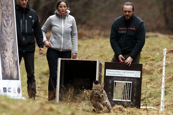 Le lynx Juri a été relâché vendredi 16 mars 2018 en forêt palatine