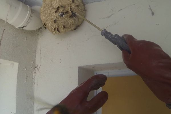 Destruction d'un nid de frelons asiatiques par un désinsectiseur en Savoie