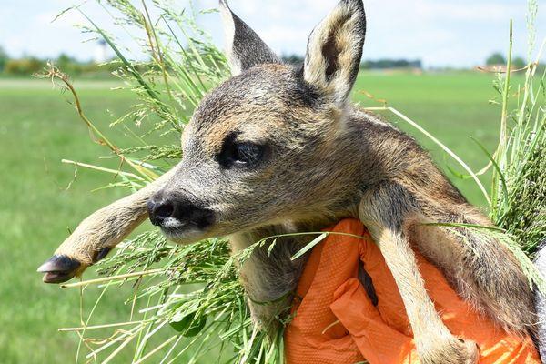 Quand un faon est repéré dans un champ, il faut le manipuler avec précaution en veillant à ne pas laisser d'odeur : l'animal est attrapé avec des gants dans un cocon d'herbes.