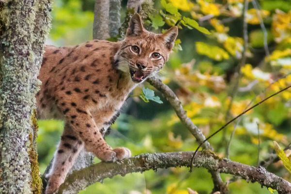 Un lynx surpris au coeur de la forêt de Chartreuse / © Thomas Capelli