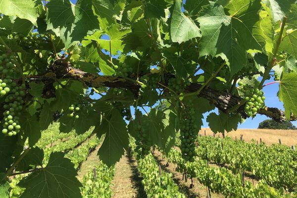 A Marsal (Moselle), la famille Calcatera exploite 20 ares de vignes