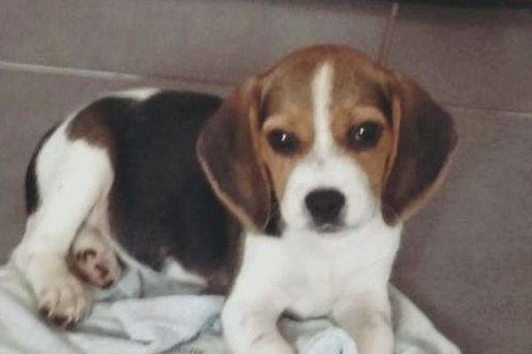 05/10/2018 - Orezza, Beagle de 10 semaines, nouvelle recrue de la Gendarmerie de Corse