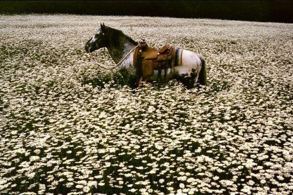 Lucky Spot Daisy Field, Sussex, 1985. Rétrospective de la photographe Linda McCartney au pavillon populaire à Montpellier 1965-1997 du 21 février au 4 mai 2014