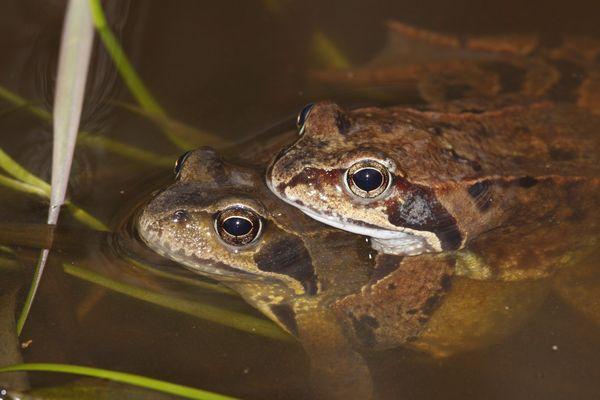 1679 grenouilles rousses vivantes ont été retrouvé chez ce chasseur «pour les consommer fraîches plus longtemps».