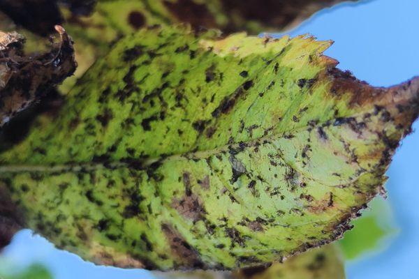 Attaquée par les pucerons, les feuilles se recroquevillent en s'enroulant sur elles-mêmes, se gaufrent et se rassemblent en paquets denses.