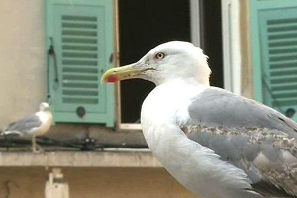 La 3e campagne de stérilisation des œufs de goélands va commencer à Nice.