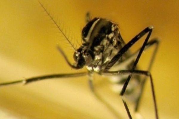 Aedes albopictus, plus communément connu sous le nom de moustique tigre en raison de sa silhouette noire et de ses rayures blanches, sur l'abdomen et les pattes.