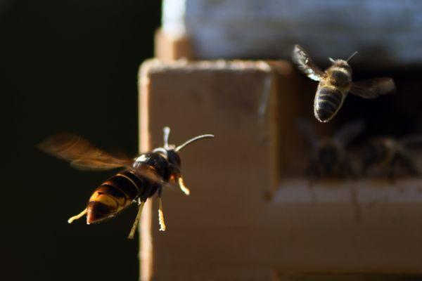 Une abeille attaquée par un frelon.