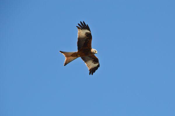 L'aigle, abattu mystérieusement, avait été équipé d'une balise GPS en juin dernier par une équipe de la LPO pour suivre le domaine qu'il couvrait.
