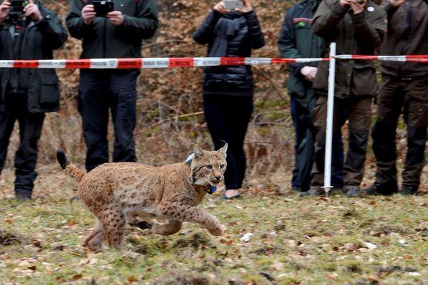 Le Lynx Arcos juste après sa libération le 07 mars 2017 à Neustadt an der Weinstrae.
