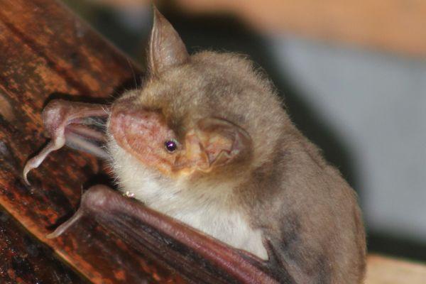 Le Grand Murin est une espèce de chauves-souris présente en Europe.