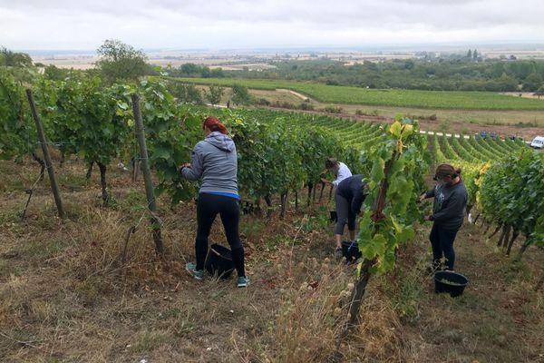 """Début des vendanges en côte de Meuse : """"On a plutôt une belle année. Le raisin et la qualité sont là""""."""