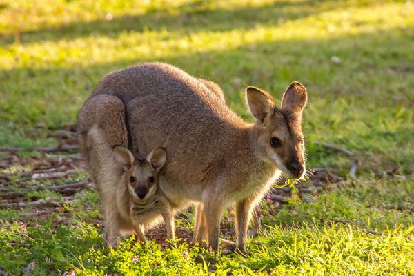 Deux wallabys en goguette, photo d'illustration